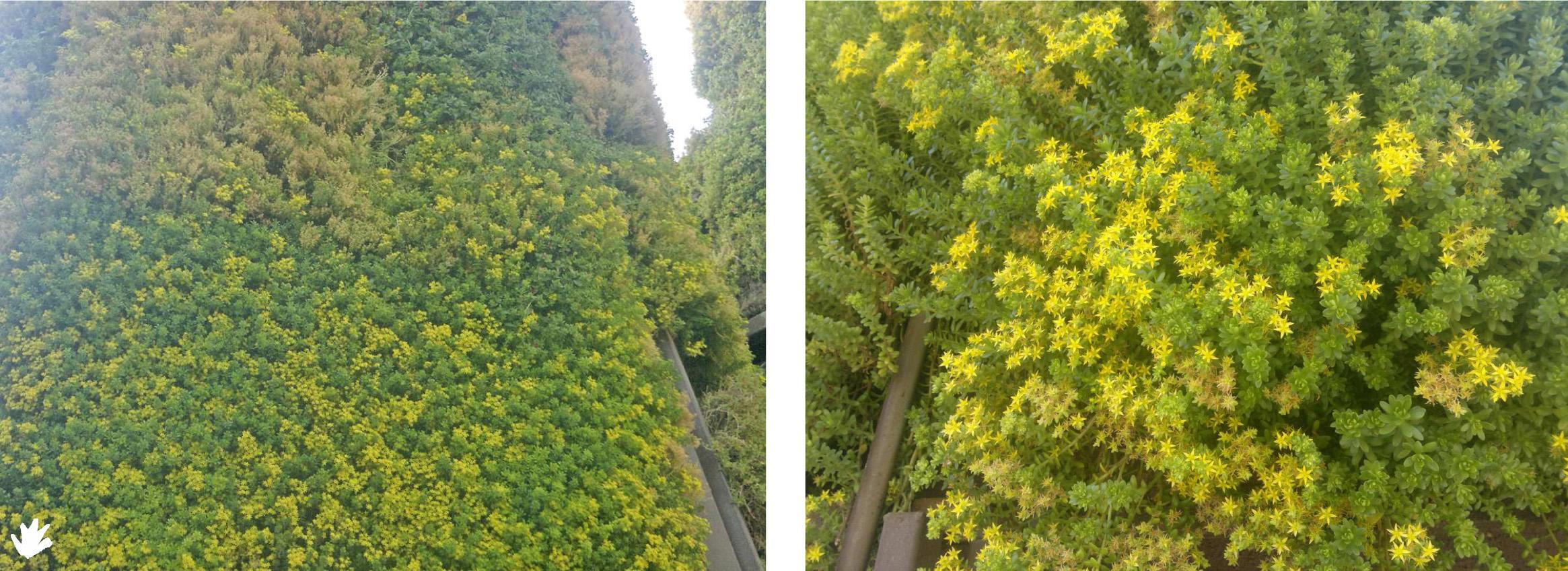 Plantas sedum para los jardines verticales paivert Tipos de plantas para jardines verticales