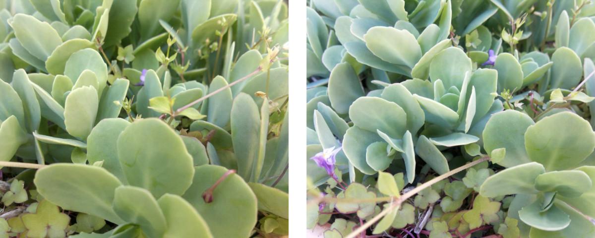 plantas sedum para los jardines verticales