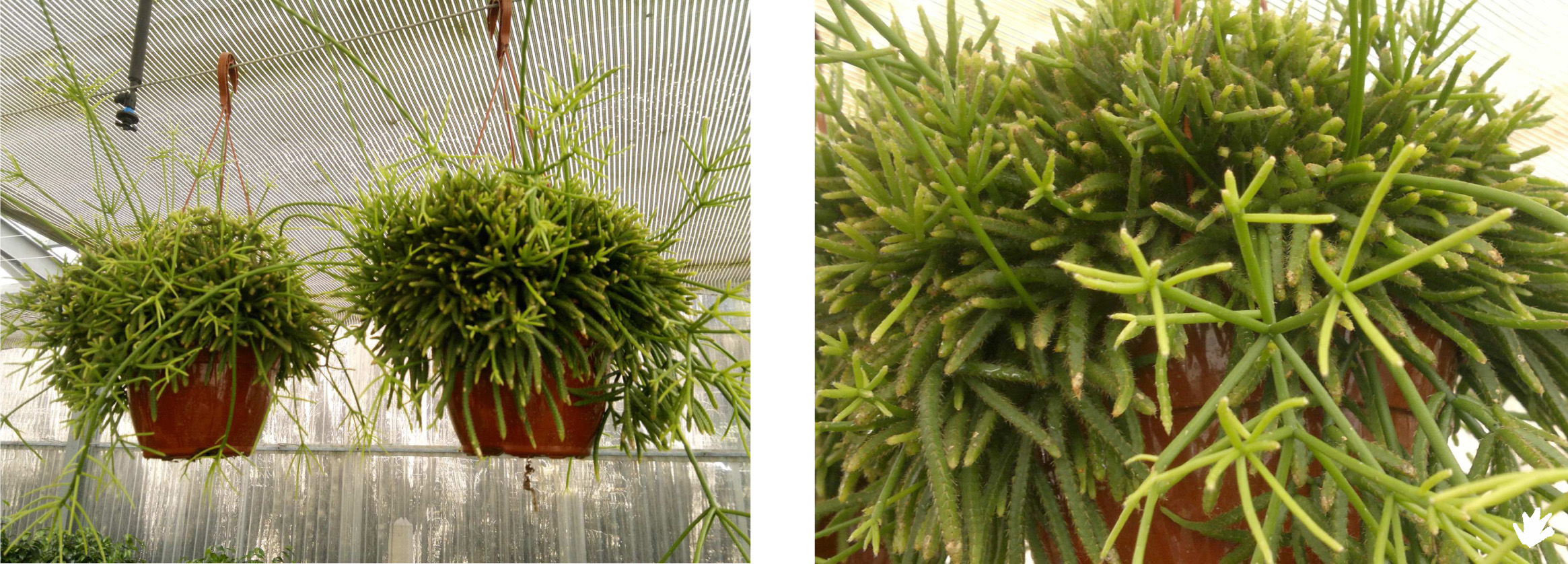 Plantas ep fitas para los jardines verticales paivert - Plantas para jardines verticales ...