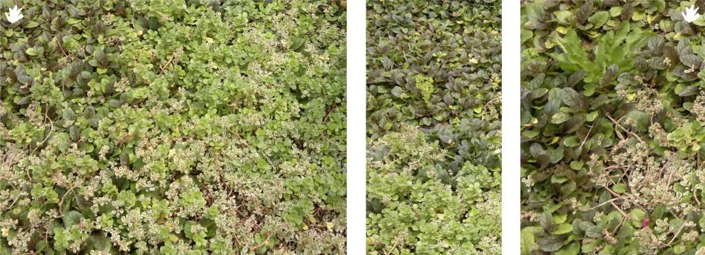 Plantas sedum para los jardines verticales paivert for Plantas jardin vertical exterior