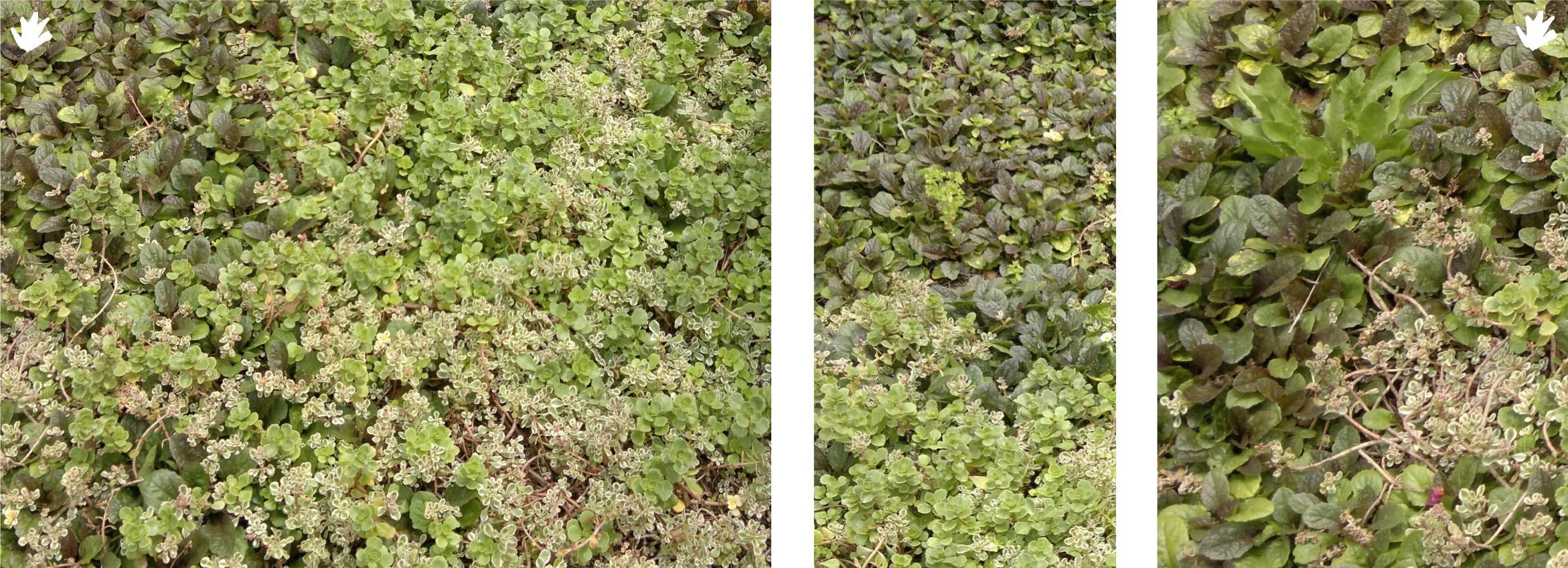 está composición de sedum spurium tricolor con otro tipo de planta