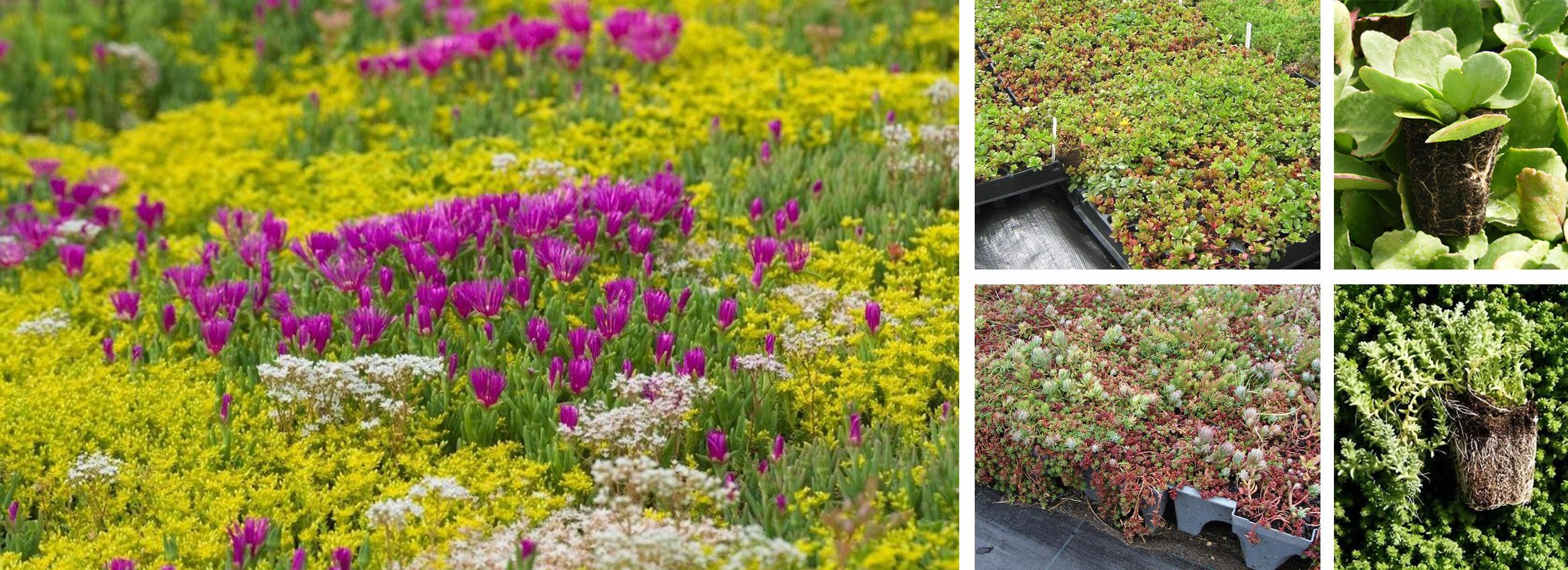 Plantas sedum para los jardines verticales paivert - Plantas para jardines verticales ...
